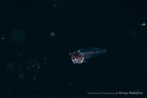 ハッチアウト直後のキアンコウの仔魚 2013.5.6 船越 -5m