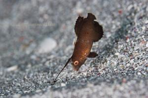 テンスの幼魚 2008.12.19 船越 -15m